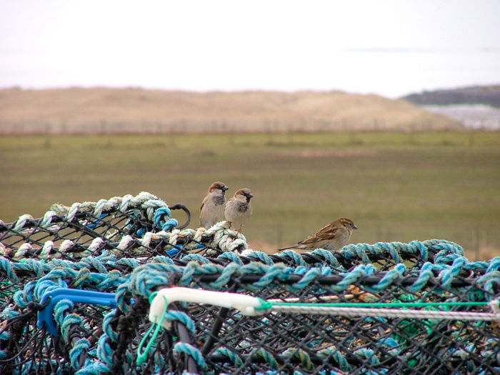 Sparrows on top of fishing creels. Birds Creels Fields Fishing Creels Focus On Foreground Islandlife Landscape Outer Hebrides Rural Rural Landscape Rural Scene Scotland Scottish Sea In Distance Sparrows Three Birds