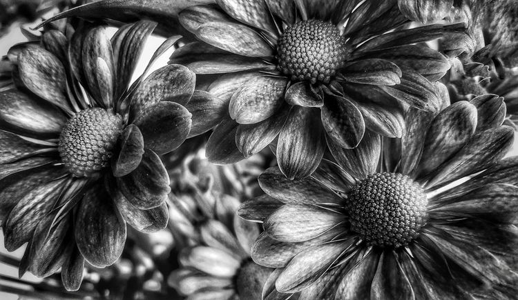 Ok herez ur b&w.... Flower Nature Backgrounds Full Frame Close-up Flower Head Snapseed EyeEm Gallery Blackandwhite Blackandwhite Photography Samsungphotography Hello World Eye4photography  EyeEm Nature Lover EyeEm Best Shots - Nature Flowers Freshness Painted Black Fragility No People Beauty In Nature Day Outdoors Freshness Welcome To Black