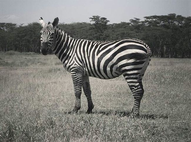 """""""A million People asking Themselves weather a Zebra is Black with white stripes or White with black Stripes . But Honestly who Cares about. It is a Beaut by Itself ."""" 👣🔹 Make .life.creative Nature Food Traveling Music Citylife Art Fashion"""