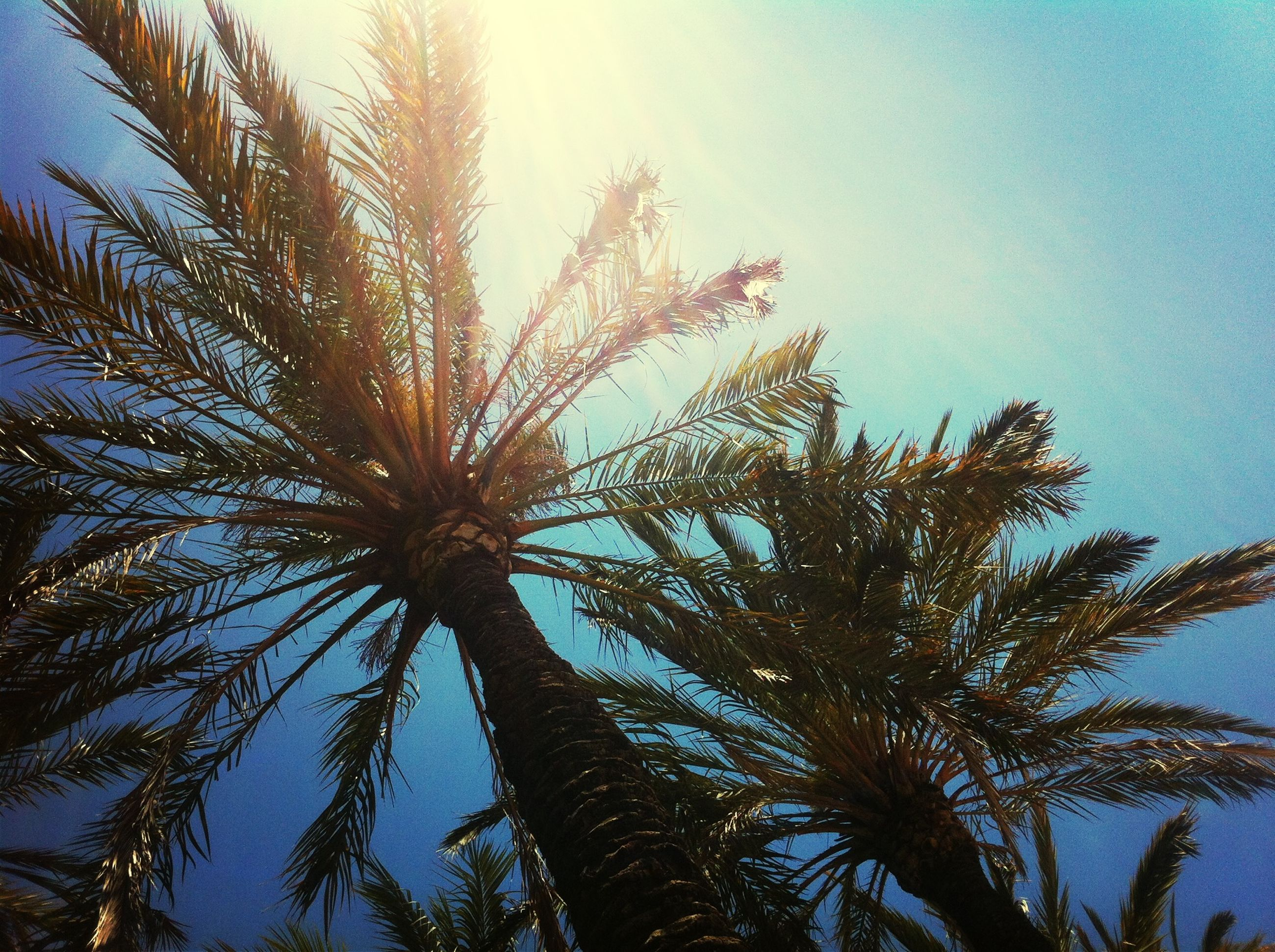 low angle view, tree, growth, palm tree, clear sky, tranquility, nature, branch, sky, beauty in nature, sun, sunlight, scenics, tranquil scene, blue, tree trunk, outdoors, silhouette, leaf, no people