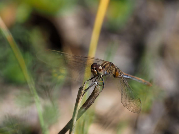 Dragonfly at Rest Invertebrate Animal Themes Animal Animal Wildlife Insect Animals In The Wild One Animal Plant Close-up Selective Focus Animal Wing Day Nature No People Focus On Foreground Outdoors Growth Beauty In Nature Zoology Dragonfly