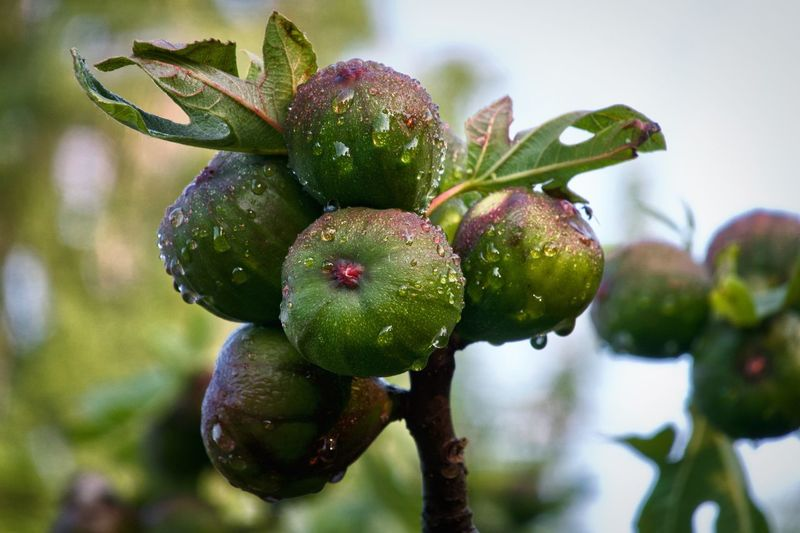 Fig Fig Fruit RainDrop Fruit Growth Plant Food And Drink Healthy Eating Food Freshness No People Beauty In Nature Focus On Foreground Wellbeing Green Color Agriculture Outdoors Nature Close-up Ripe Day Tree Drop