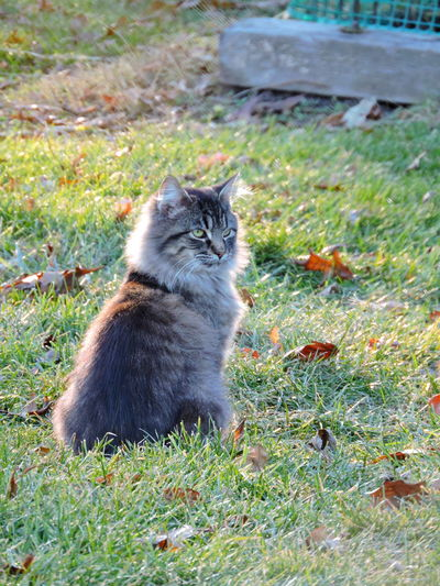 Regal Animal Themes Day Domestic Cat Grass Mammal Nature No People One Animal Outdoors Regal Cat