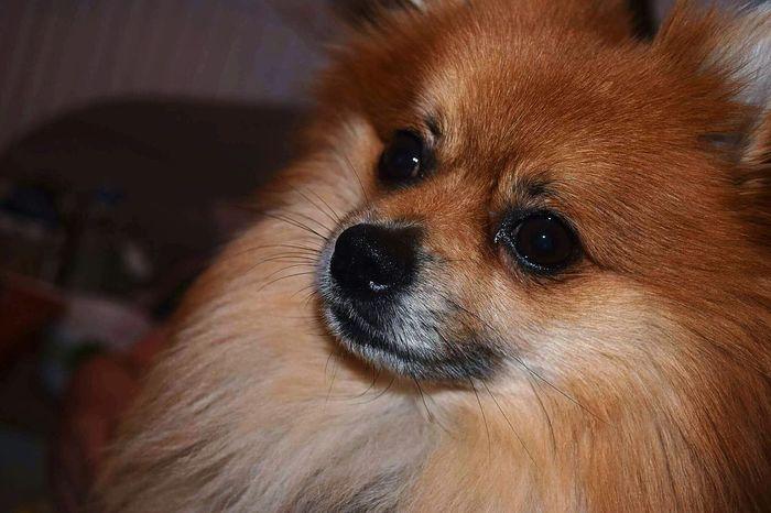 One Animal Portrait Dog Pomeranian Puppy❤ MyLove❤ MyDog💓 Lovehim♡ Dogeyes Dognose My Photography