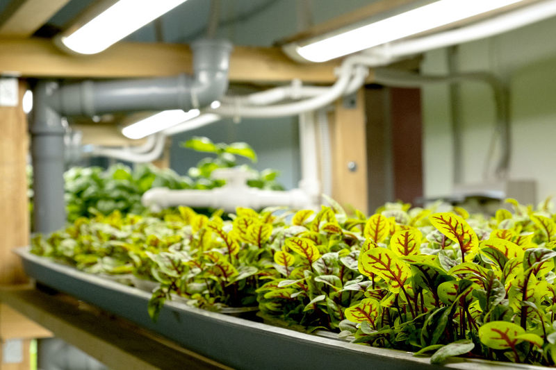 City farm for growing microgreens. eco-friendly small business. baby leaves, phyto lamp.