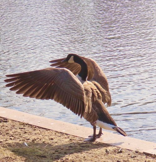 Goose with spread wings birds of EyeEm beauty in nature outdoors water animal themes Animal Wildlife One Animal Bird