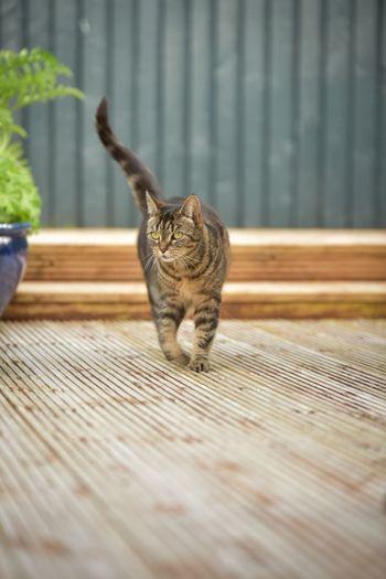 Cat walking on boardwalk