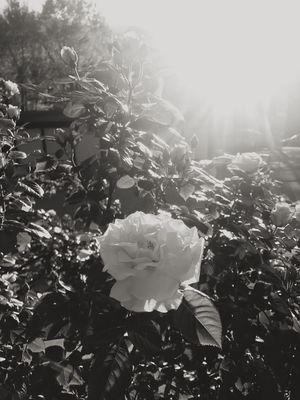 Flower Blackandwhite Blackandwhiterose Against The Sun