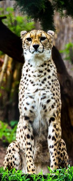 Animal Themes Animal Wildlife Animal Mammal Big Cat Animals In The Wild Cheetah Day One Animal Cat No People Nature Portrait Animal Markings Land Zoo Leopard King Wildlife Wildlife & Nature EyeEmNewHere Moments Of Happiness