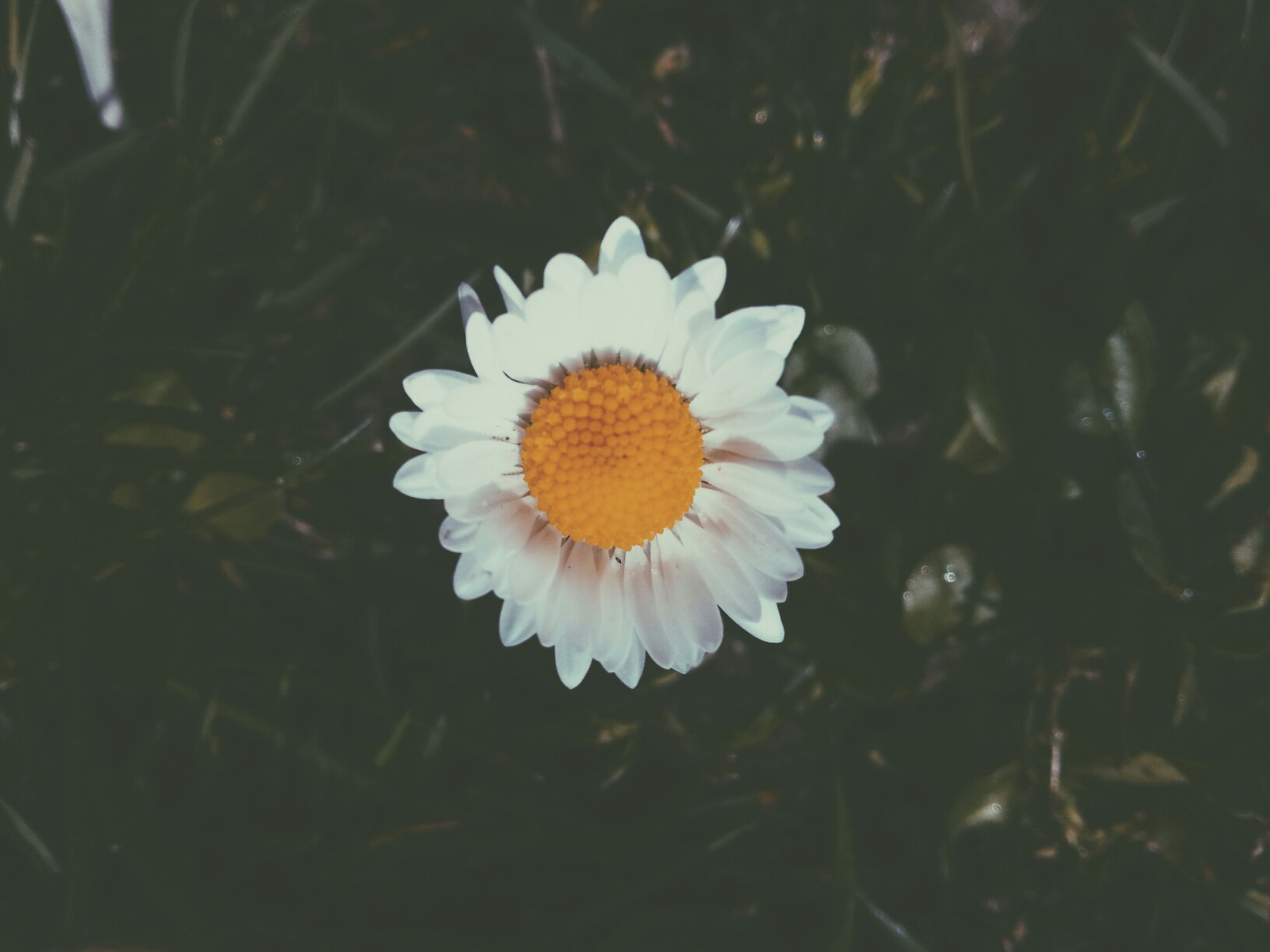 flower, petal, freshness, fragility, flower head, growth, white color, beauty in nature, single flower, blooming, pollen, close-up, nature, plant, daisy, focus on foreground, yellow, high angle view, in bloom, outdoors