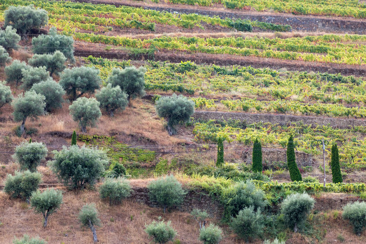 Vineyards and olive trees on banks of Douro River in Portugal, the oldest wine region in the world. Douro  Portugal Agriculture Beauty In Nature Day Environment Field Grass Green Color Growth Land Landscape Nature No People Non-urban Scene Outdoors Plant Rural Scene Scenics - Nature Semi-arid Tranquility Travel Destinations Tree Vineyard Wine