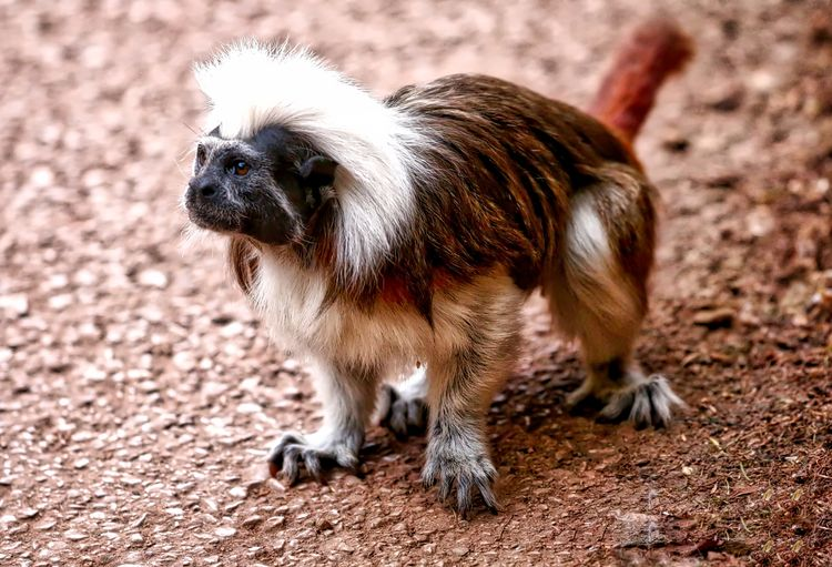 Cotton Top Tamarin Animal Animal Head  Animal Themes Close-up Day Field Focus On Foreground Mammal Nature No People Outdoors Portrait Selective Focus