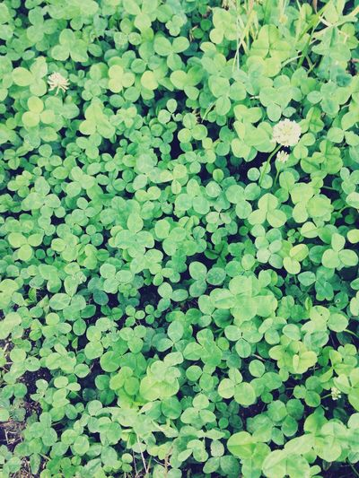 Looking for Four Leaf Clover :) couldn't find th :P Green Green Green!  Nature