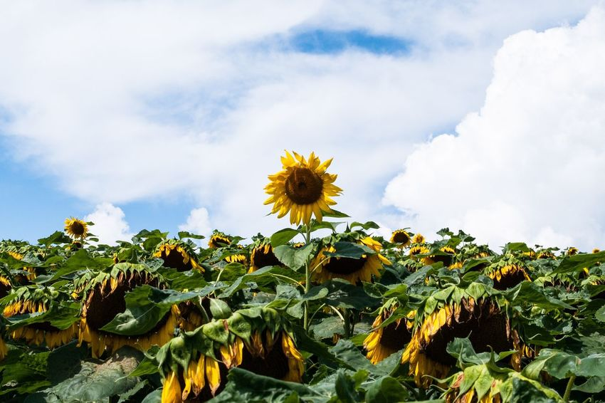 Nature Flower Sunflower Leaf Sky Day Yellow Plant Growth Beauty In Nature No People Green Color Cloud - Sky Flowering Plant Plant Part Freshness Flower Head Fragility Close-up Inflorescence Vulnerability