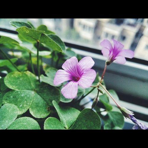 花 Flowers 四叶草 天津 vscocam snapseed