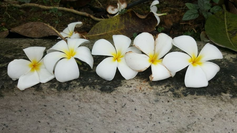 pretty flowers all in a row Nature On Your Doorstep Nature Nature_collection Nature Photography Frangipani Flowers Frangipani Flowers Lifeisbeautiful Flower Head Frangipani Flower White Color Petal Close-up