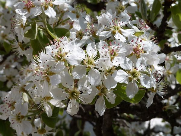 Espalier Pear Blossom Pear Blossoms Beauty In Nature Blooming Blossom Botany Close-up Espalier Pear Blossom Flower Flower Head Nature No People Spring White Color