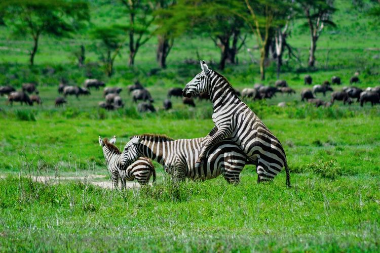 View Of Zebra Mating
