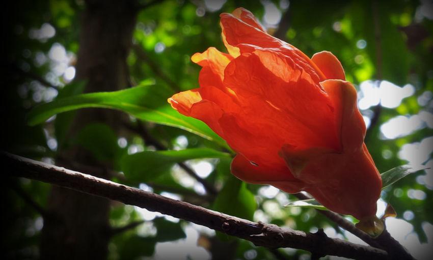 punica granatum #botanical #EyeEmEsterlinda #italy Beauty In Nature Flower Fragility Freshness Orange Color Petal Single Flower Vibrant Color