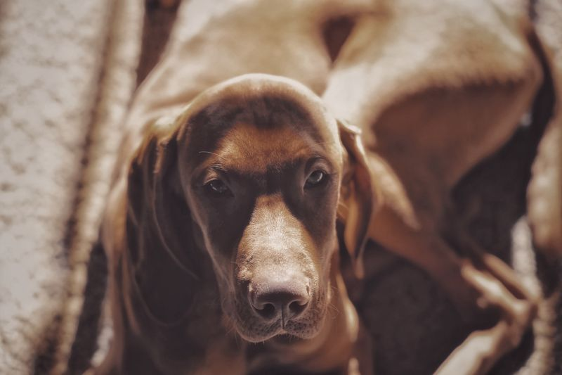 Jack Vizsla Animal Themes Animal Mammal One Animal Domestic Domestic Animals Canine Dog Pets Vertebrate No People Looking At Camera Animal Body Part Portrait Close-up Focus On Foreground Brown Animal Head  Day Animal Nose