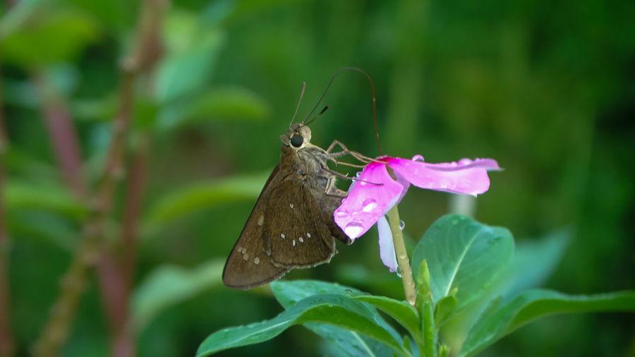 Moth feeding in