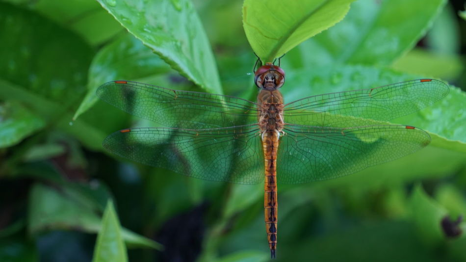 Dragonfly #Dragonfly #animal #Nature  #Bokeh #green #PicturePerfect #photography Insect Animal Wildlife Leaf Animals In The Wild Animal Themes Nature One Animal Day Outdoors No People Close-up
