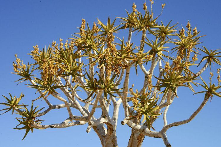 Quiver tree in the Namib Desert Namibia Desert Namib Desert Namibia Namibia Landscape Nature Tranquility Tree Bare Tree Beauty In Nature Blue Sky Desert Beauty Namib Quiver Quivertree  Tranquil Scene