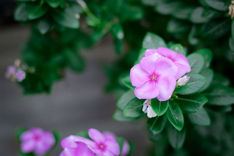 Beauty In Nature Blooming Close-up Day Flower Flower Head Fragility Freshness Growth Nature No People Outdoors Periwinkle Petal Plant