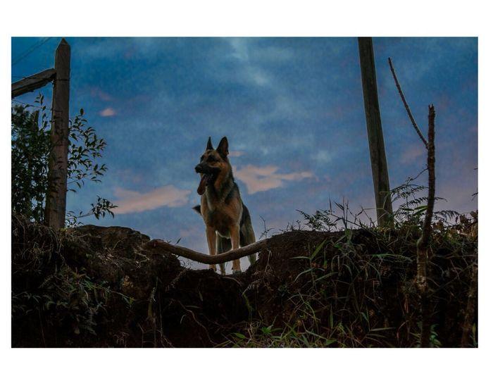 One Animal Animal Animal Themes Mammal German Shepherd Tree Outdoors Dog No People Sky Day Domestic Animals Pets Nature