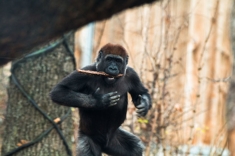 Portrait of gorilla by tree in forest