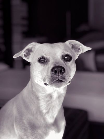 My Dog Dogs Of EyeEm Pets Dog Mammal One Animal Canine Domestic Domestic Animals Home Interior Indoors  Portrait No People Looking Close-up Vertebrate Looking At Camera Focus On Foreground