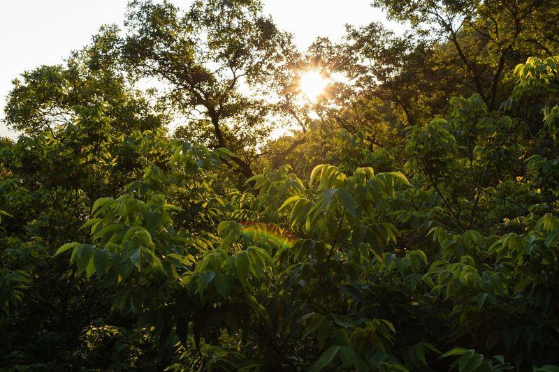 Sunrise Plant