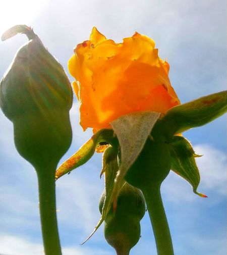 Yellow Color Yellow Rose Sun Rays Clouds Rosé Flower Flower Head Close-up Sky Plant