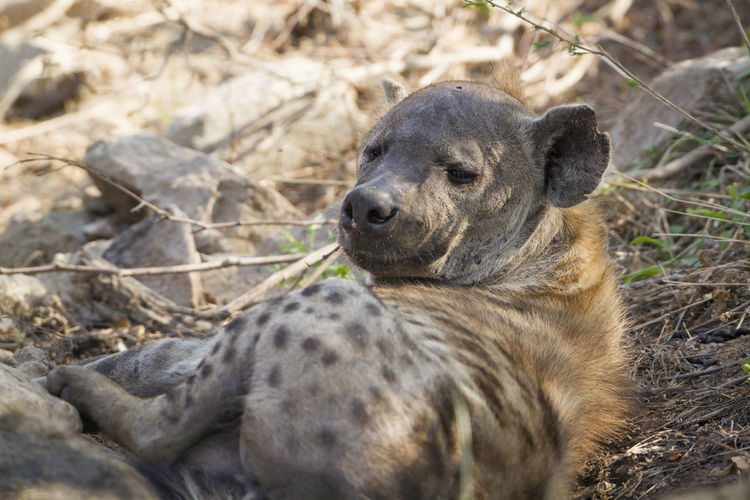 Close-up of hyena resting in national park