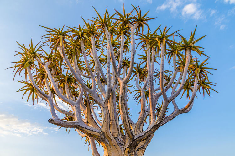 Quivertree  Tree African Landscape Africa Nature Namibia Quivertree Forest Quiver Tree