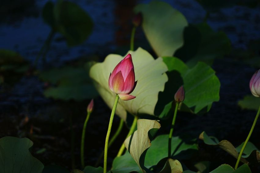 China Photos Flowerpark Pink Lotus Bud Flower Getting Inspired Light And Shadow Baiyangdian Streamzoofamily