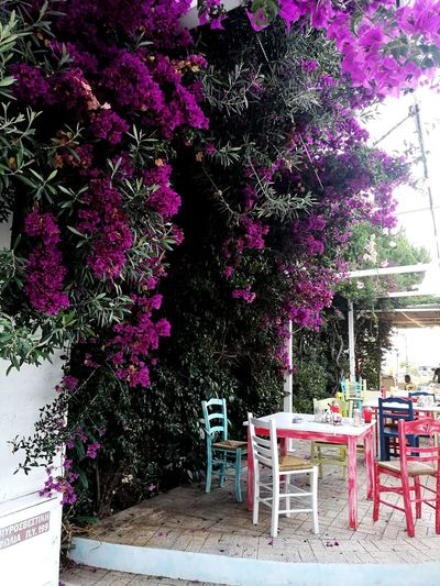 Greece Enjoylifecolors Letstravelmore Travelgreece Letstravel No People Colorful Bright Colors Neamakri GREECE ♥♥ Vacation Time Illbeback Niceplace Littlestoriesofmylife Tree Flower Chair Table Lilac Blooming Purple Flower Head In Bloom Outdoor Cafe