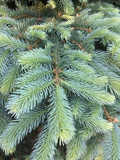 Colorado Blue Spruce Tree Blue Spruce Backdrop Identify Background Needles Colorado Blue Spruce Branch Pine Spruce