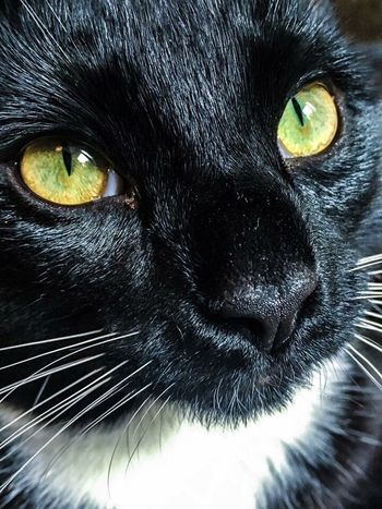 Pet Portraits Pets One Animal Domestic Cat Domestic Animals Black Color Animal Themes Portrait Feline Mammal Yellow Eyes Looking At Camera Animal Head  Whisker Close-up No People Indoors  Day