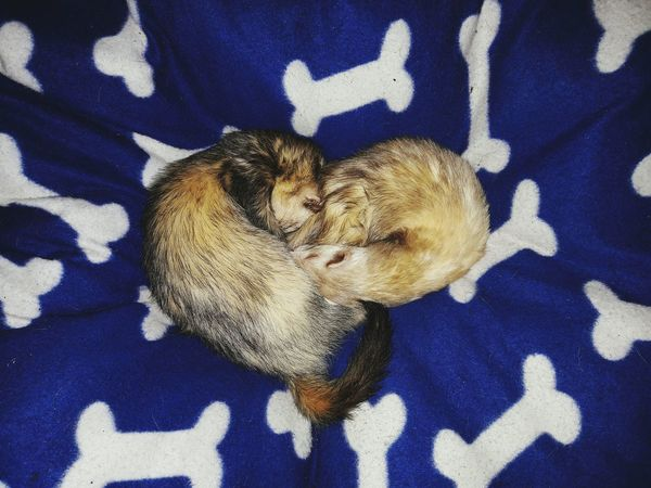 Ferrets in love Ferret Love Heart Shape Animal Themes No People Textured  Animals Two Ferrets  In Love❤ Sleeping Ferret Sleeping Animals Heart Shape Look From Above Bones Pillow