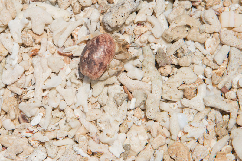 Hermit crab crawling on the beach at Mystery Island, Vanuatu Crab Isolated Mystery Island Nature Animal Shell Beach Close-up Closeup Day Eye Full Frame Hermit Crab Legs Marine Life Mineral Nature Outdoors Pacific Islands Sea Life Seashell Shell Texture Vanuatu Wild Wildlife