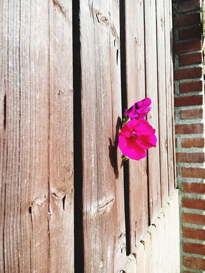 Kiekeboe Flower Between Fence Check This Out Nature EyeEm Nature Lover Flowers Purple Green Wood - Material Brick Focus On Foreground Outdoors Day No People Taking Photos Enjoying Life Outdoor Photography EyeEm Best Shots Eye4photography  EyeEm Gallery Colors Colorful Lessismore