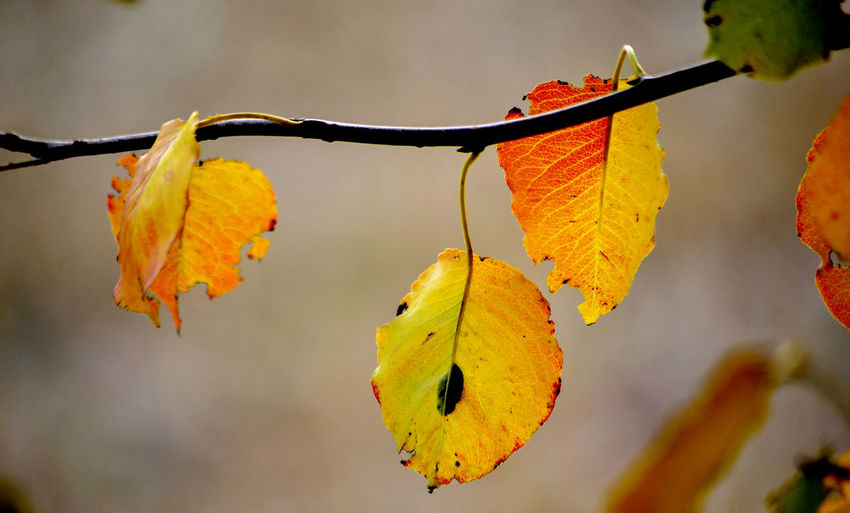 fall beauty Autumn Plant Part Leaf Close-up Plant Nature Growth Focus On Foreground No People Day Outdoors Leaves Fall Cherry Leaf Walnut Leaf Concept November Season  Blur Background Fall Colors Fall Leaves