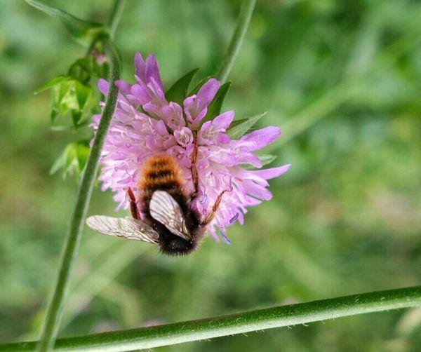 Hummel Flowers Bees Nectar Fly Away Macro Nature On Your Doorstep Barefoot Upside Down EyeEm Nature Lover