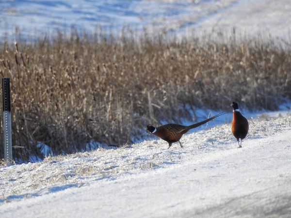 Pheasant Aberdeen Pheasant Birds Pheasant Season South Dakota Pheasant