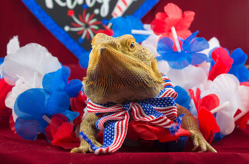 Bearded Dragon July 4th Lizard Pet Portraits Reptile United States America Blue Close-up Fourth Of July Independence Day Indoors  No People Red Color Red White And Blue