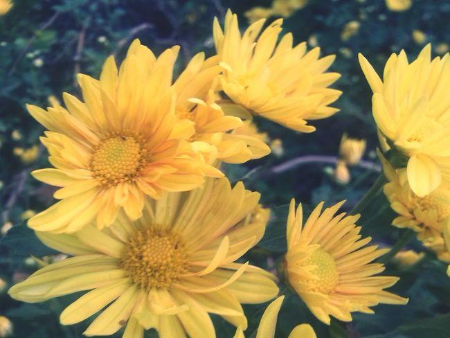 Yellowsss. .