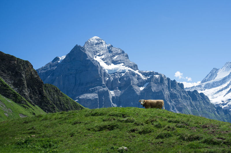 Cow on grassy field against mountains during winter