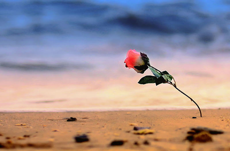 plastic flower at the beach Beauty In Nature Flower Flowering Plant Nature Plant Beach Land Fragility Vulnerability  Pink Color No People Sand Freshness Close-up Petal Selective Focus Rosé Day Outdoors Flower Head Rosé Red Rose