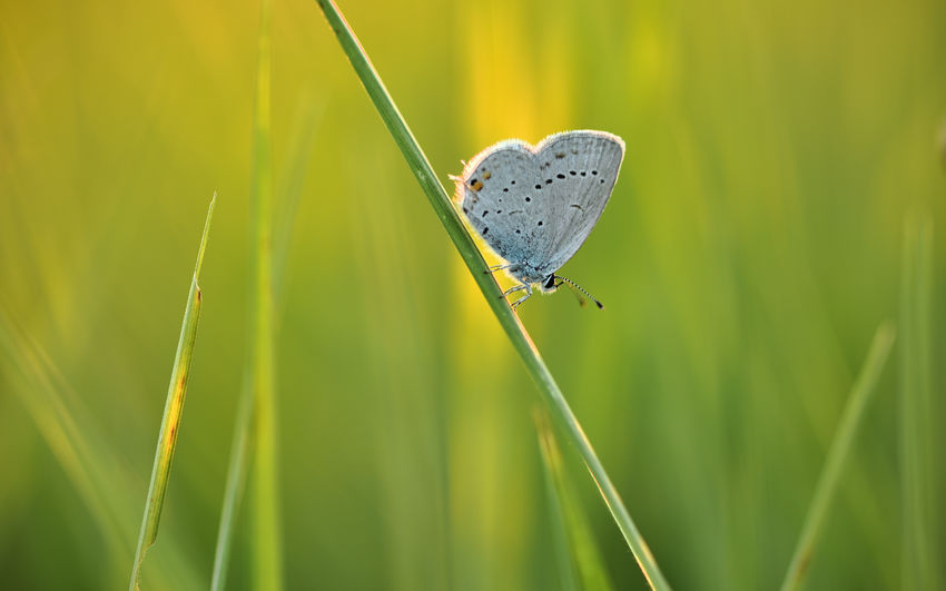 A small blue-winged butterfly on a blade off grass in the evening light. Animal Themes Invertebrate Animal Animal Wildlife Animals In The Wild Insect One Animal Plant Close-up Green Color Nature Growth No People Beauty In Nature Day Focus On Foreground Animal Wing Grass Selective Focus Butterfly - Insect Butterfly Blade Of Grass Gossamer-winged Butterfly EyeEm Nature Lover Nature Nature_collection Meadow Nikon Nikonphotography Outdoors Biodiversity Natural Beauty Atmospheric Nature Sight Makro Ecology Postcard Poster
